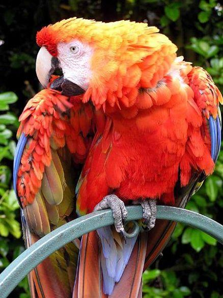 محببة للانسان لتربيتها كطيور مدللة ، وقد تتعلم الببغاء الرمادي