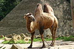 240px-Bactrian_Camel