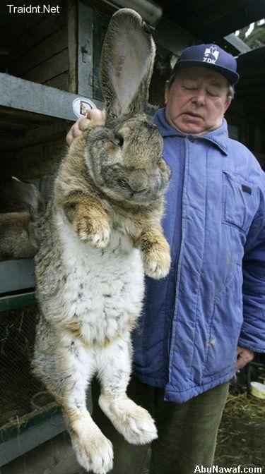 اكبر ارنب بالعالم  25975_01244762498