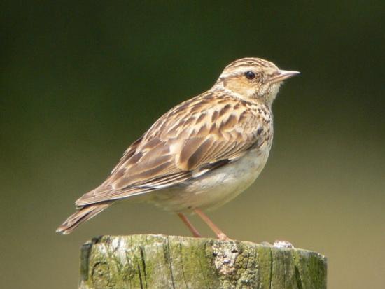 طيور القبرة 550px-wood_lark.jpg?