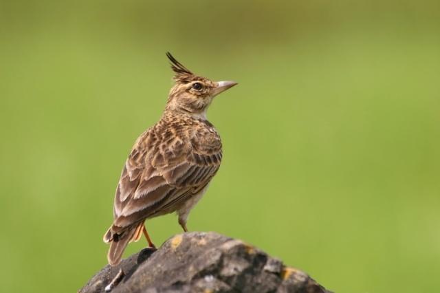 طيور القبرة 6400malabar_crested_