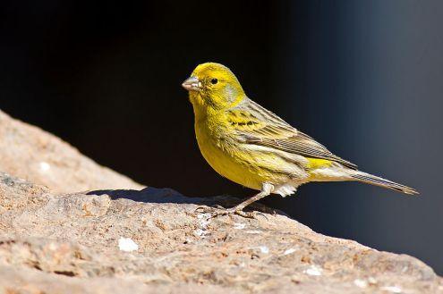 800px-Serinus_canaria_-Parque_Rural_del_Nublo,_Gran_Canaria,_Spain_-male-8a