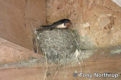 barn-swallow-in-nest (1)