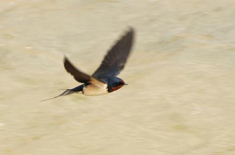 Barn-Swallow_BH