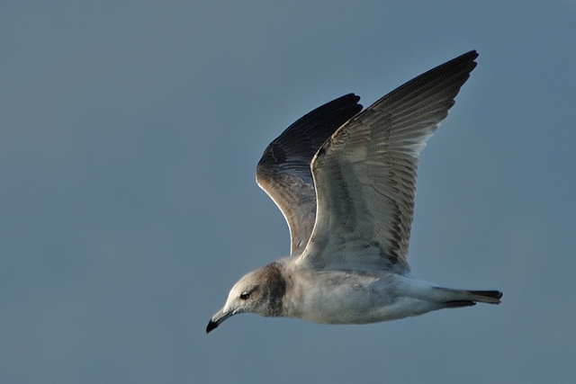 Black-tailed-Gull_AK
