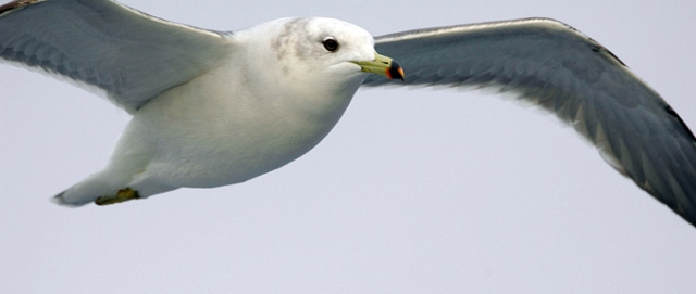 Black-tailed-Gull_RL