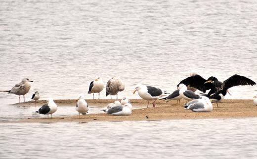 حديقة حيوانات المركز الدولى  - صفحة 2 Black-winged-stilt-and-oystercatcher_bh