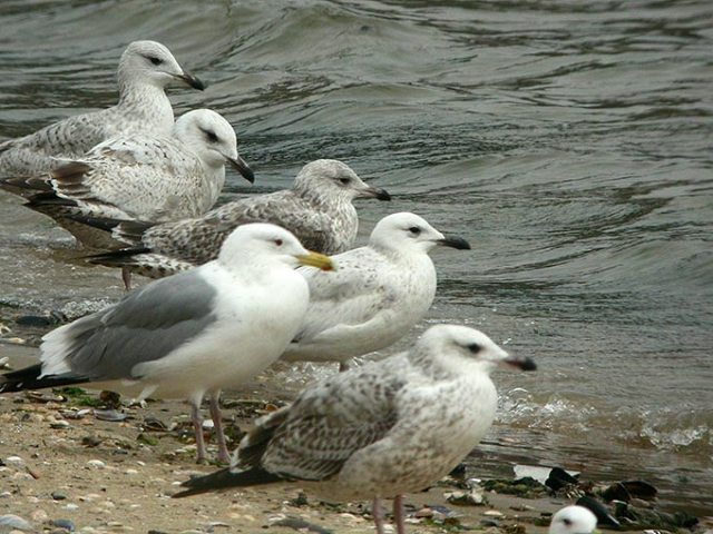 Caspian-Gull_NM-02