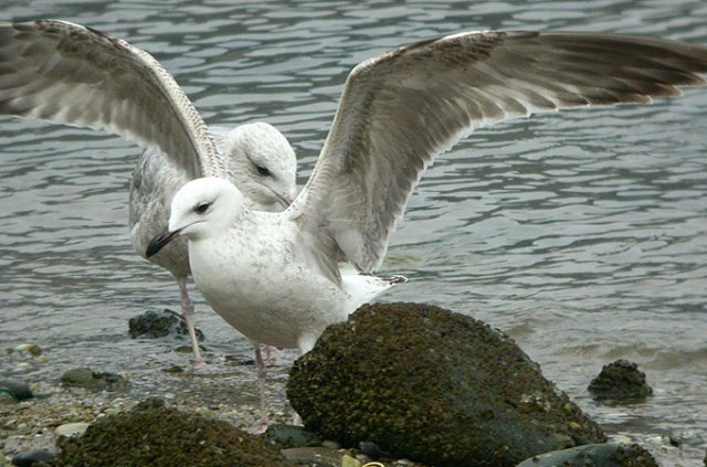 Caspian-Gull_NM-04