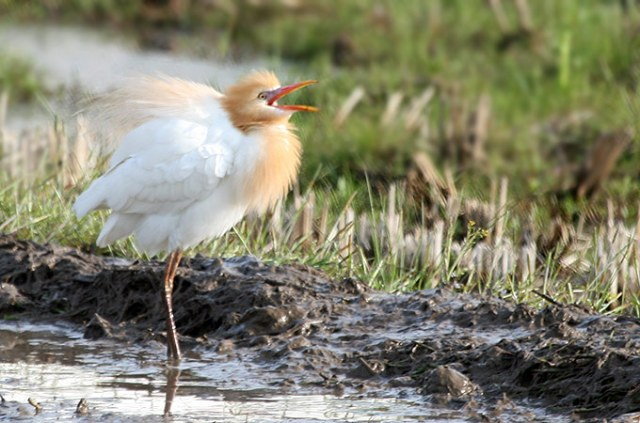 Cattle-Egret_MP