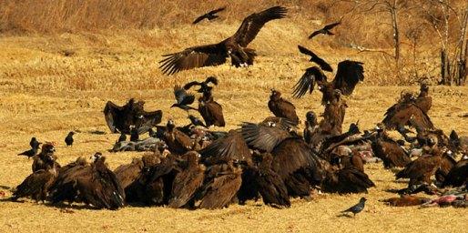 حديقة حيوانات المركز الدولى  - صفحة 2 Cinereous-vulture-feeding-cheorwon_rl