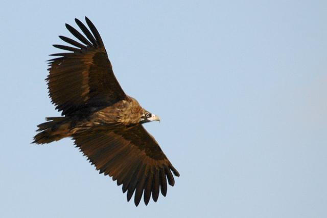 Cinereous-Vulture-in-flight-Cheorwon_RL