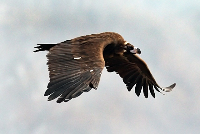Cinereous-Vulture_RN