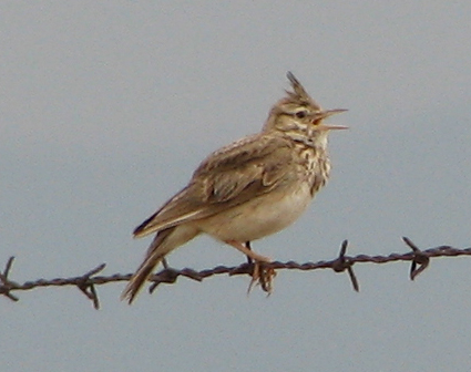 طيور القبرة crested-lark-2205b-p