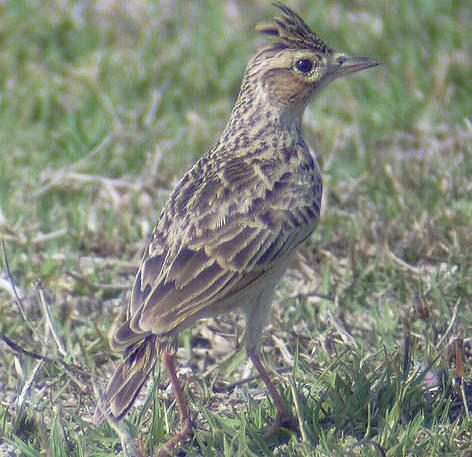 طيور القبرة crested-lark.jpg?w=6