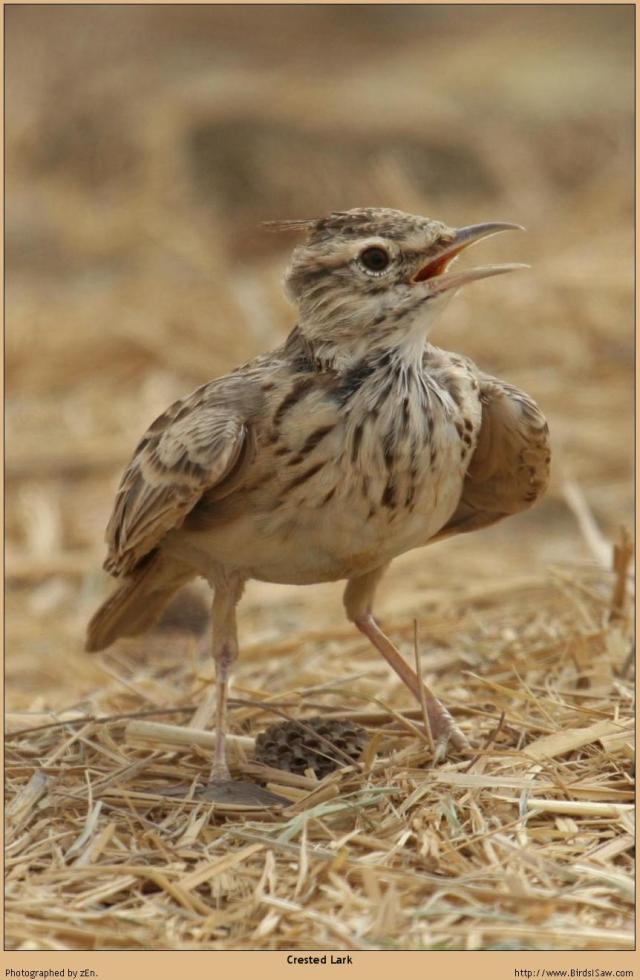 طيور القبرة crested_lark_05293.j