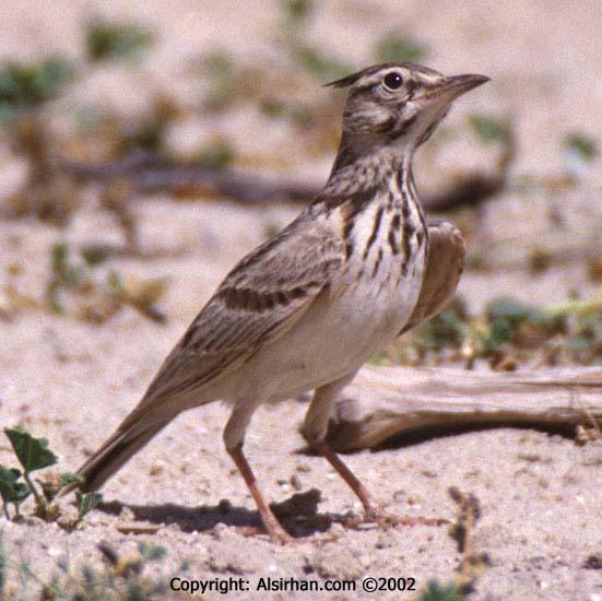 طيور القبرة crested_lark_1.jpg?w