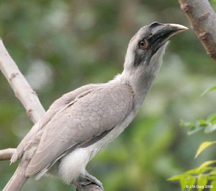 الهندي رمادي-Indian_Grey_Hornbill_I2_IMG_9029