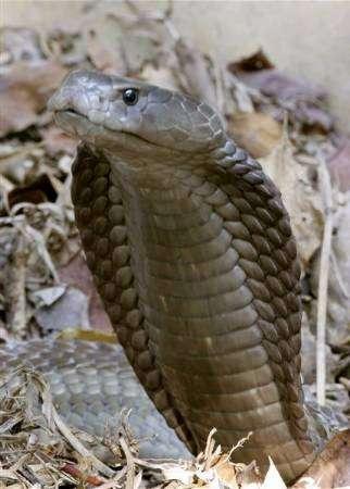 صورة للكوبرا العملاقة المكتشفة حديثا في كينيا