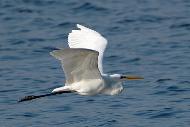 Eastern-Great-Egret_AK