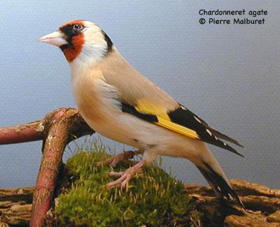 gt-chardonneret-fiche1