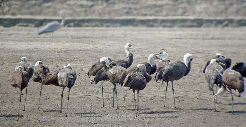 حديقة حيوانات المركز الدولى  - صفحة 2 Hooded-cranes_gs