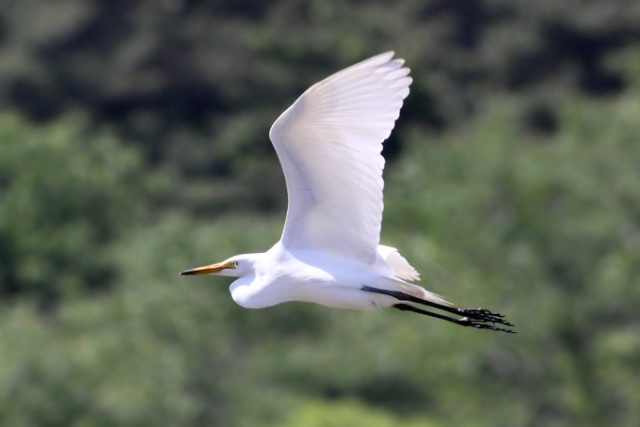 Intermediate-Egret_44444