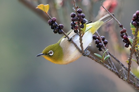 Japanese-White-Eye_MP-02