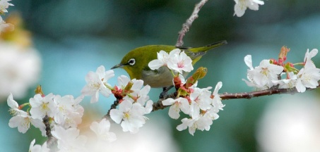 Japanese-White-eye_RL3