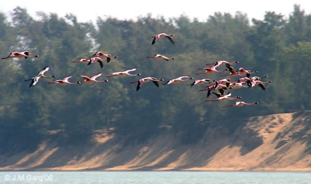 Lesser_Flamingos_I3_-_Chilika_IMG_9295