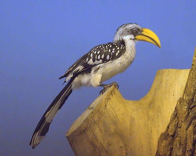 -Northern_Yellow-billed_Hornbillالشرقية الأصفر المنقار
