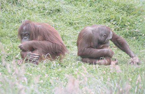 orangs-ape
