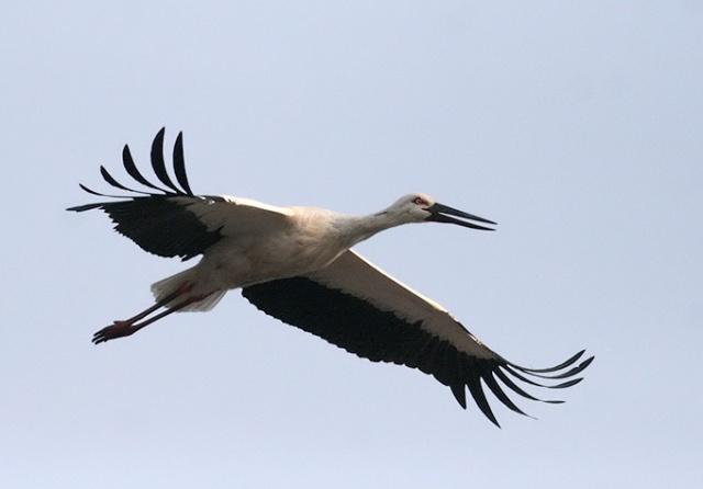 Oriental-White-Stork_455555