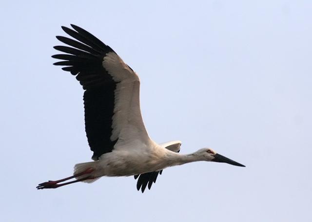 Oriental-White-Stork_66666