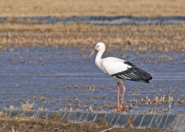 Oriental-White-Stork_TE-01