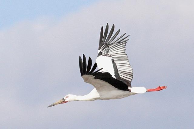 Oriental-White-Stork_TE-02