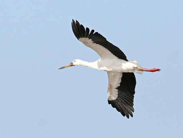 Oriental-White-Stork_TE-03