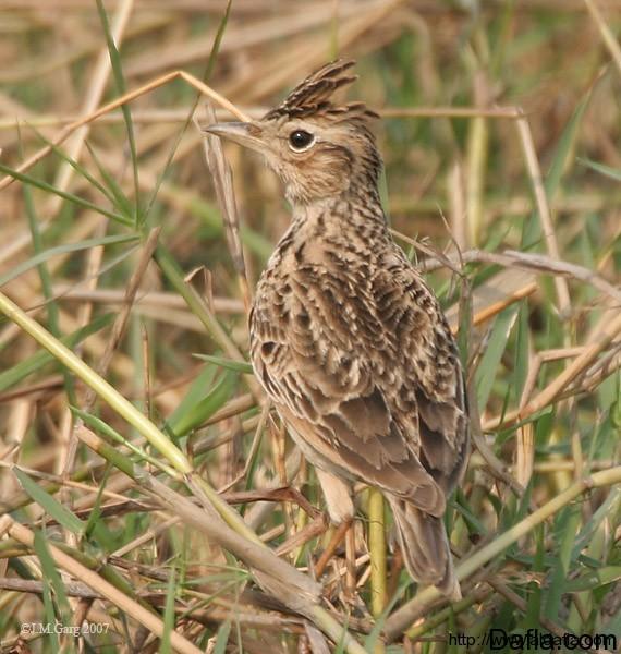 طيور القبرة oriental_skylark_i_i