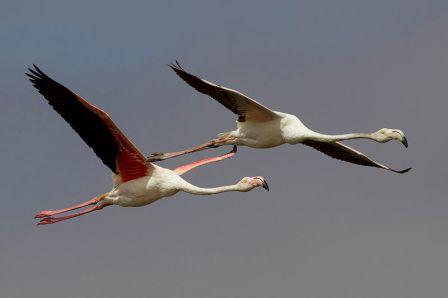 Phoenicopterus_roseus_flight_(Walvis_bay)