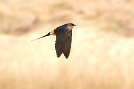 Red-rumped-Swallow_BH-01