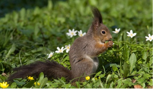 السناجب.. أنواع السناجب.. حيوان السنجاب red-squirrel-2.jpg?w=509&h=297