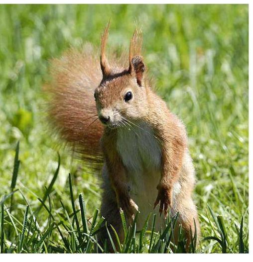 السناجب.. أنواع السناجب.. حيوان السنجاب red-squirrel-6.jpg?w=508&h=528