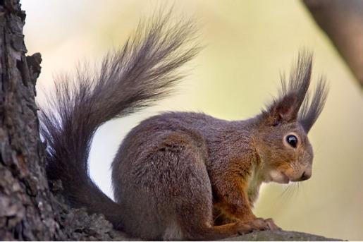 السناجب.. أنواع السناجب.. حيوان السنجاب red-squirrel-680.jpg?w=515&h=344