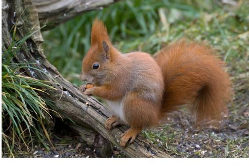 السناجب.. أنواع السناجب.. حيوان السنجاب red-squirrel.jpg?w=511&h=342