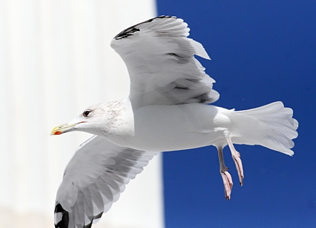 Slaty-backed-Gull_TE