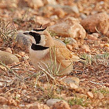 طيور القبرة temmincks-horned-lar