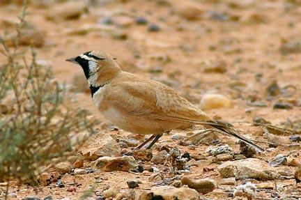 طيور القبرة temmincks-lark-2.jpg