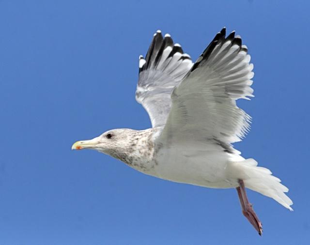 Vega-Gull_TE