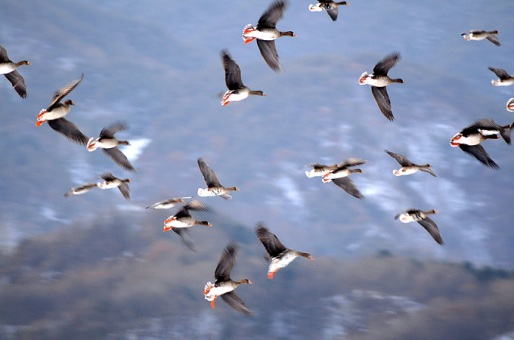 حديقة حيوانات المركز الدولى  - صفحة 2 White-fronted-geese_bh-01