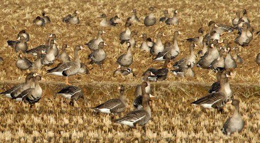 حديقة حيوانات المركز الدولى  - صفحة 2 White-fronted-goose-02_ak